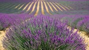 lavender-894919__180