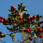 berries-693901_640