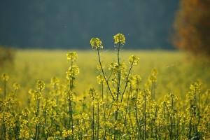 oilseed-rape-1009407_640