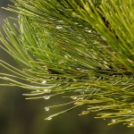 pine-needles-1110331_640
