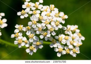 stock-photo-achollea-alpina-var-longiligulata-yarrow-yarrow-white-asteraceae-honshu-hokkaido-239751700